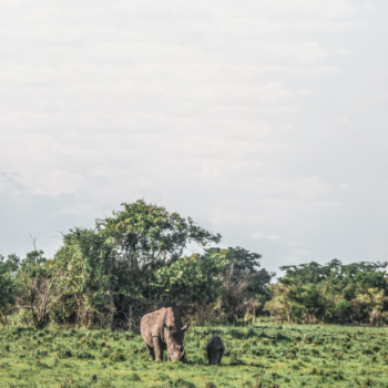 Trekking with rhinos at Ziwa Rhino Sanctuary is one of the best and most budget-friendly activities in Uganda!