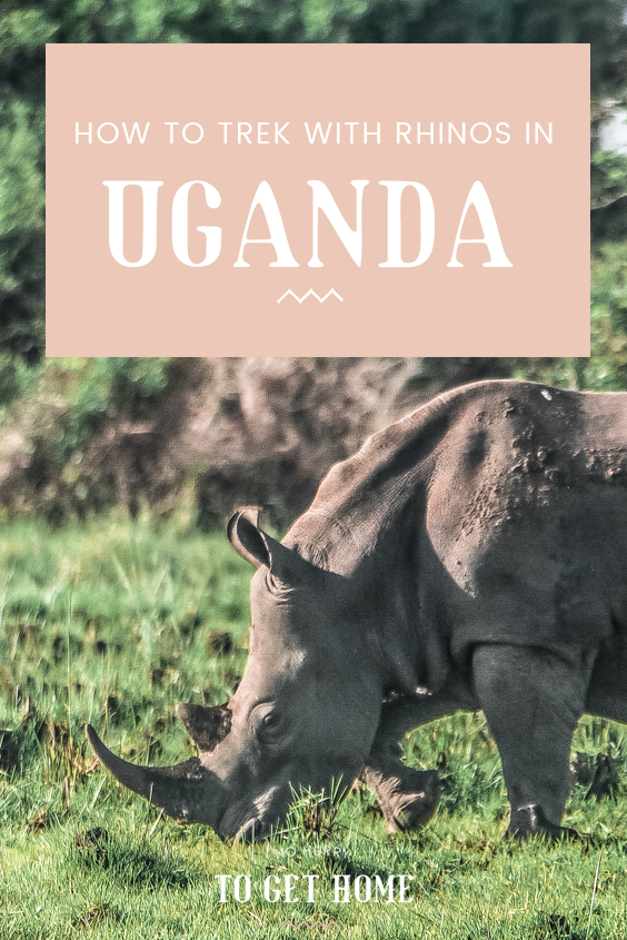 Ziwa Rhino Sanctuary is one of those places in Africa that will leave in you in awe. Set in Uganda and a perfect day trip from Kampala, this huge sanctuary gives visitors the opportunity to trek with rhinos on a budget! #Uganda #Kampala #Wildlife #Africa