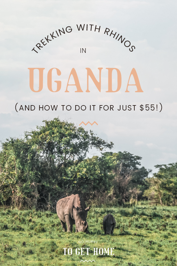 Part of a perfect Uganda itinerary or a quick day trip from Kampala, Ziwa Rhino Sanctuary is the only home to rhinos in Uganda. Here's my guide on how to visit rhinos on a budget and all the reasons you'll fall in love with Ziwa!