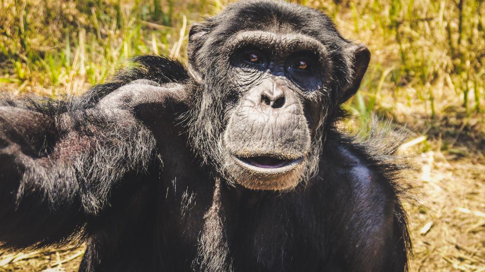 Chimpanzee at Chimfunshi Animal Sanctuary in Africa