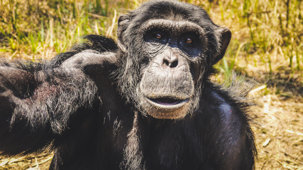 Visiting Chimfunshi Sanctuary in Zambia, an ethical sanctuary for chimpanzees in Africa. Things to do in Zambia / Wildlife in Zambia / How to see chimpanzees in Zambia / Africa Wildlife / Chimpanzee sanctuary #zambia #wildlife #chimpanzee #nohurrytogethome #africa #animaltourism #ethical