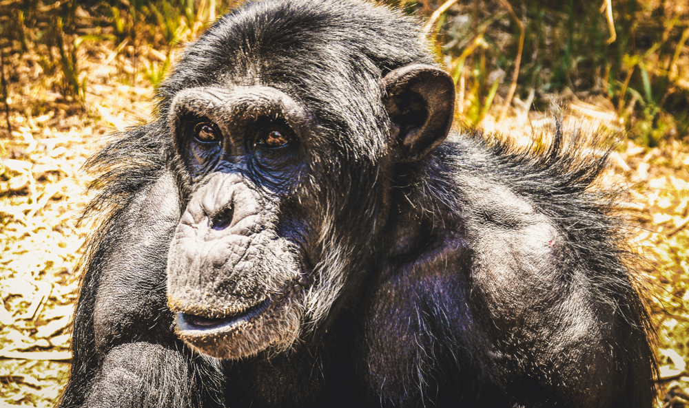 A xhimpanzee at Chimfunshi Animal Sanctuary in Zambia