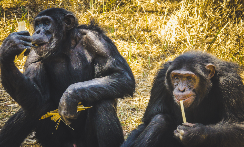 Chimpanzees eating lunch at a sanctuary in Africa