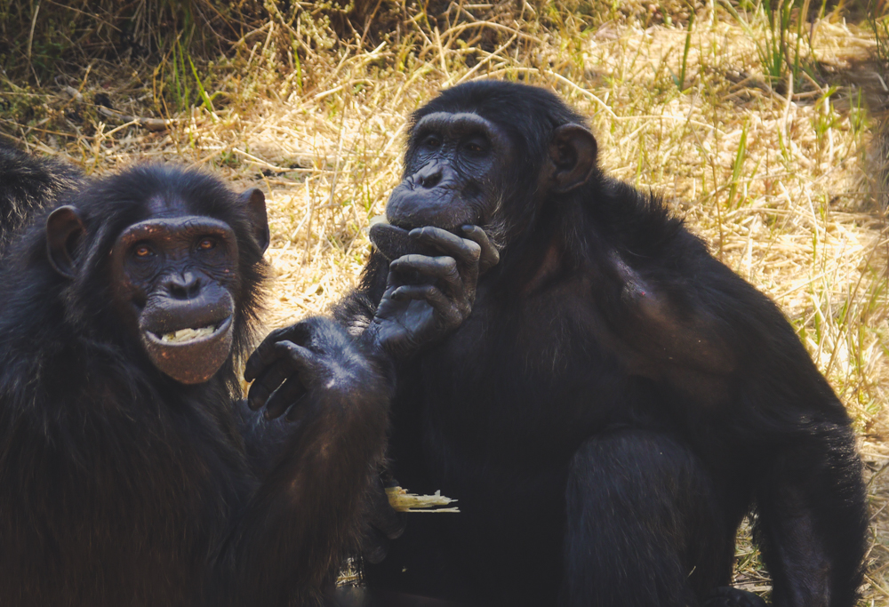 Chimpanzees sharing their lunch at a sanctuary in Africa