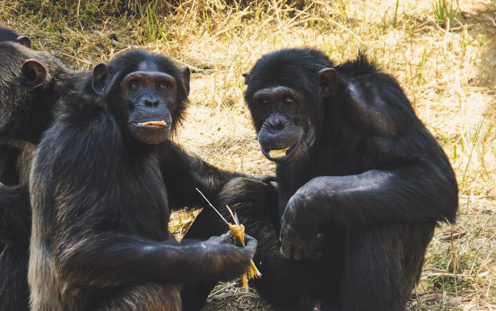 Chimpanzees sharing a meal