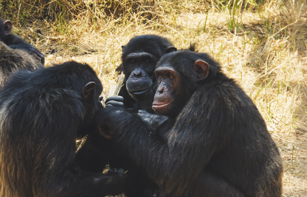 Chimpanzees gossiping at Chimfunshi