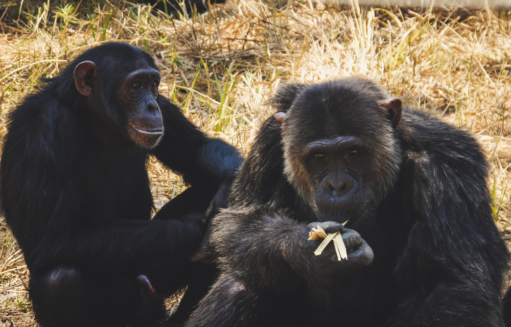 Chimpanzees eating lunch at a sanctuary in Zambia