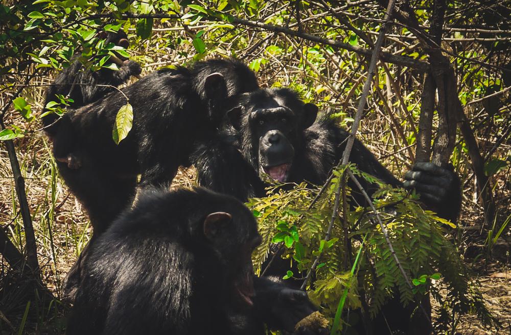 Chumpanzees at Chimfunshi, a wildlife sanctuary in Zambia