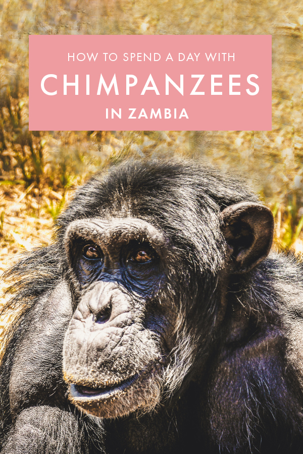 Wondering how to see chimpanzees in Africa in an ethical way? If seeing chimps is one your bucket list, you have to visit this animal sanctuary in Zambia - one of the best wildlife sanctuaries in Africa and the best thing to do in Zambia for wildlife lovers. #Zambia #Wildlife #Africa
