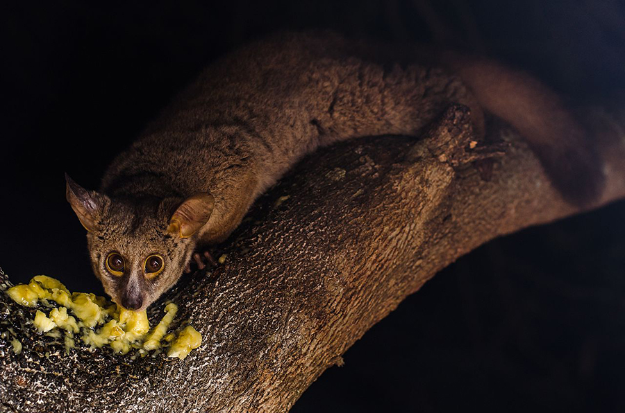 Meeting bush babies was a highlight of my time in Diani Beach - You'll find them at Stilts Backpackers Hostel!