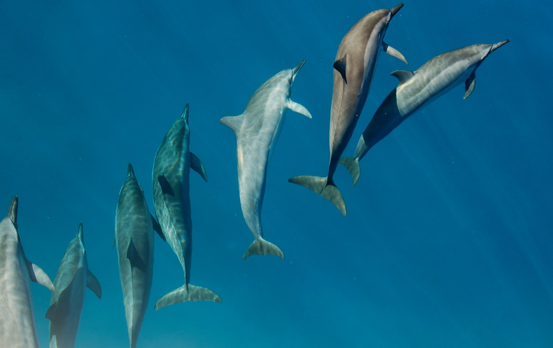 Witnessing dolphins swimming is one of the best things to do in Diani Beach on a day trip!