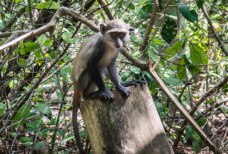 No Diani Beach itinerary is complete without taking a tour through Colobus Monkey Conservation Center to learn about the rehabilitation of Colobus monkeys + other primates
