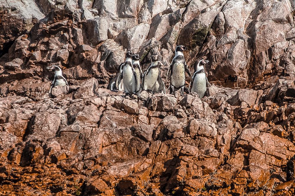 Humboldt Penguins in Islas Ballestas