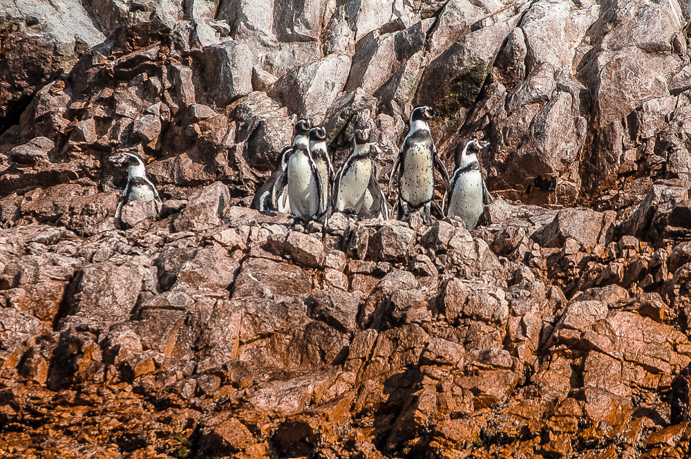 Humboldt Penguins in Islas Ballestas