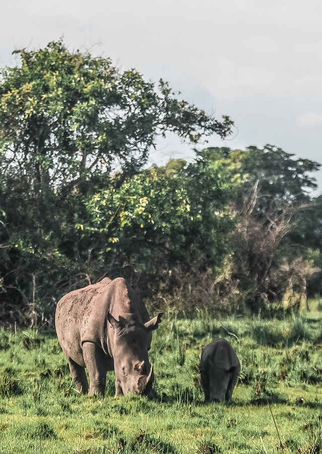 A baby rhino and his mother grazing at Ziwa Rhino Sanctuary in Uganda. A quick day trip from Kampala and a perfect destination to add into your Uganda itinerary.
