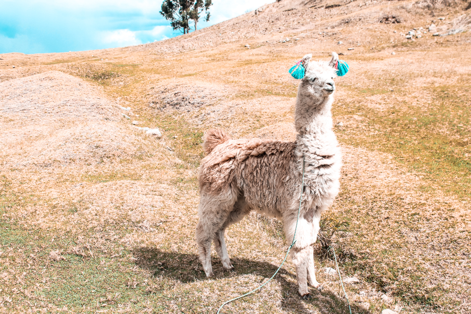 An alpaca up on a hill in Cuzco, Peru
