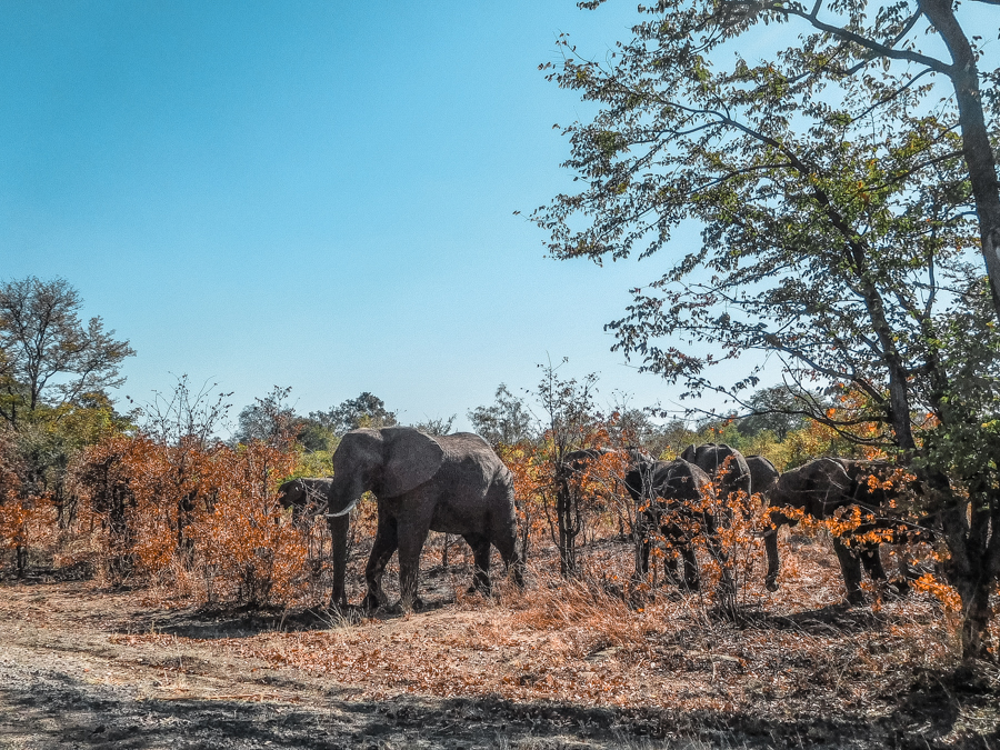 Elephants on the highway from Livingstone to Victoria Falls