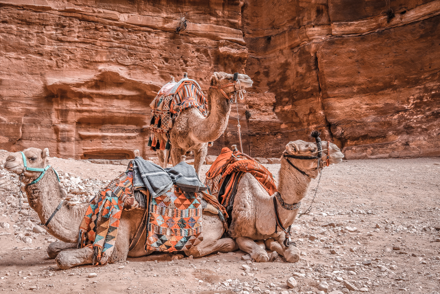 Petra in a day: Camels