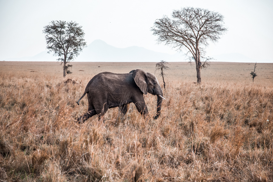 Elephant at Kidepo National Park, a great addition to your Uganda itinerary