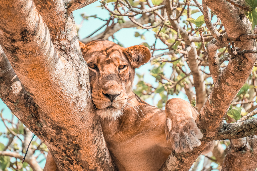 A tree climbing lion at Queen Elizabeth National Park, one of the reasons you need to visit Uganda. Check out my Uganda itinerary to plan a perfect trip to the Pearl of Africa