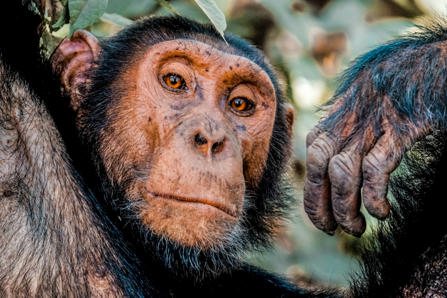 Chimpanzee tracking at Kibale National Park should in on everyone's Uganda itinerary