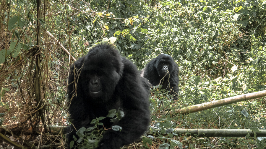 Wild mountain gorillas walking about at Bwindi Impenetrable Forest, a must in everyone's Uganda itinerary