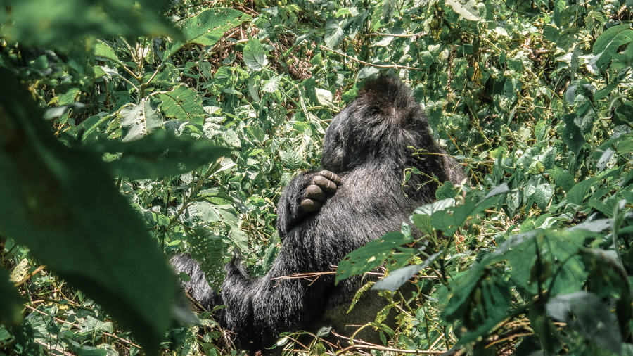 A silverback (wild mountain gorilla) at Bwindi Impenetrable Forest, a must in everyone's Uganda itinerary