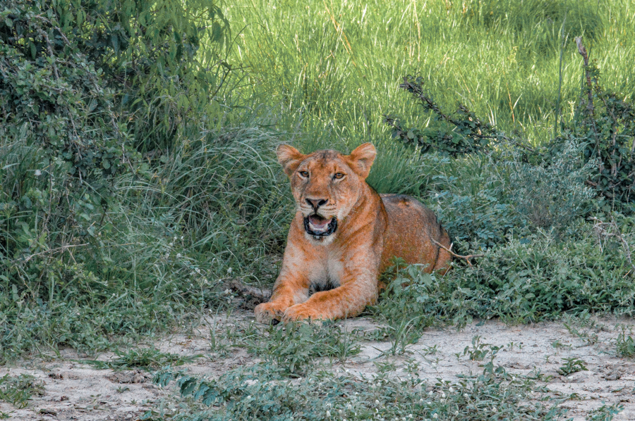 A lioness in Uganda and why you should include Queen Elizabeth National Park in your Uganda itinerary