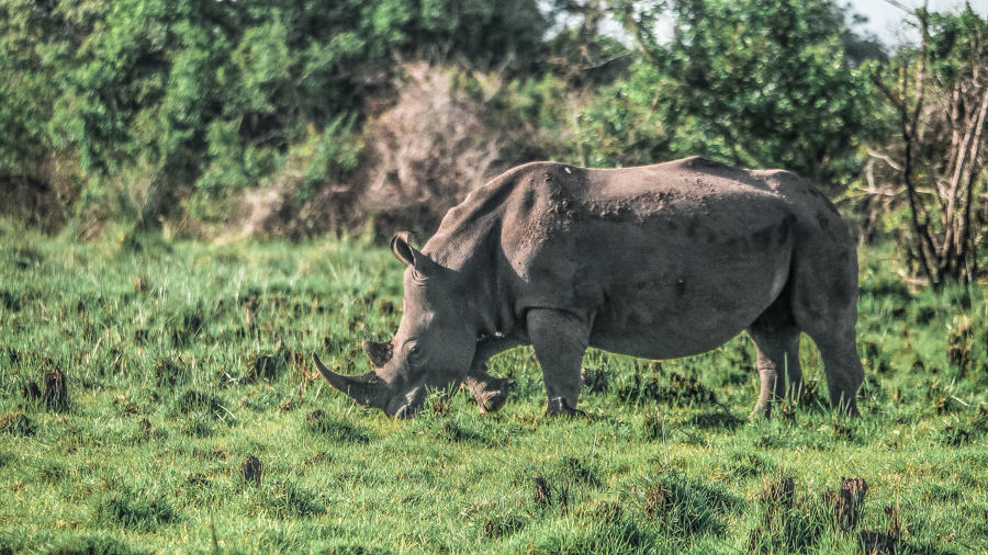 A female rhino grazing during my visit to Ziwa Rhino Sanctuary