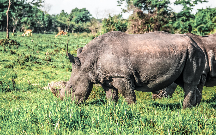 Two rhinos grazing during my visit to Ziwa Rhino Sanctuary