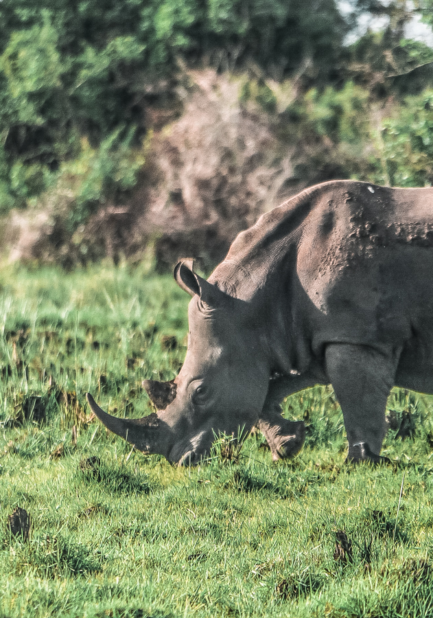 A rhino grazing during my visit to Ziwa Rhino Sanctuary