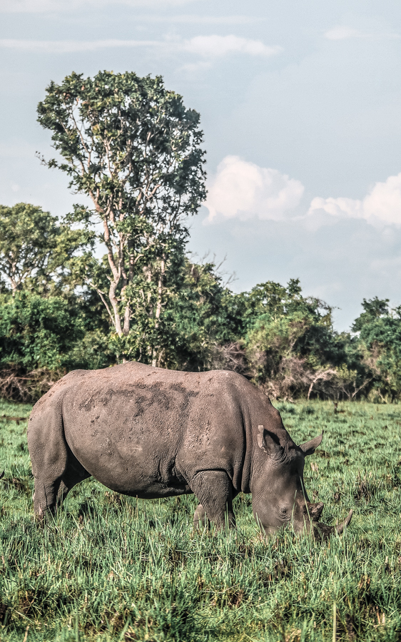 A rhino grazing during my visit at Ziwa Rhino Sanctuary