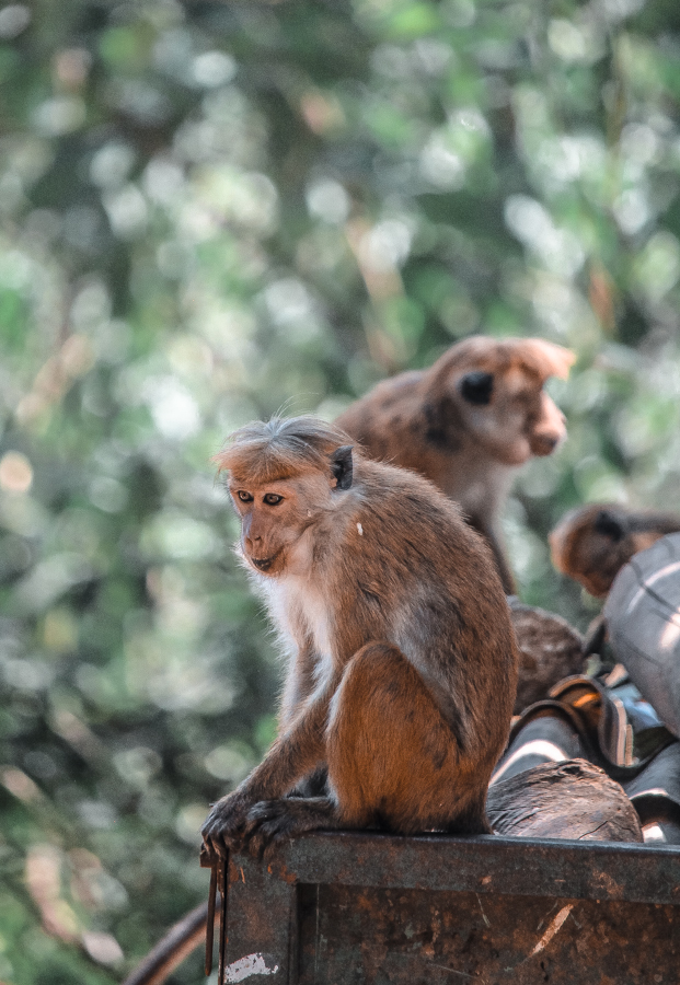 Spotting wild macaques at this incredible forest reserve in Kandy, Sri Lanka. An attraction you can't miss!