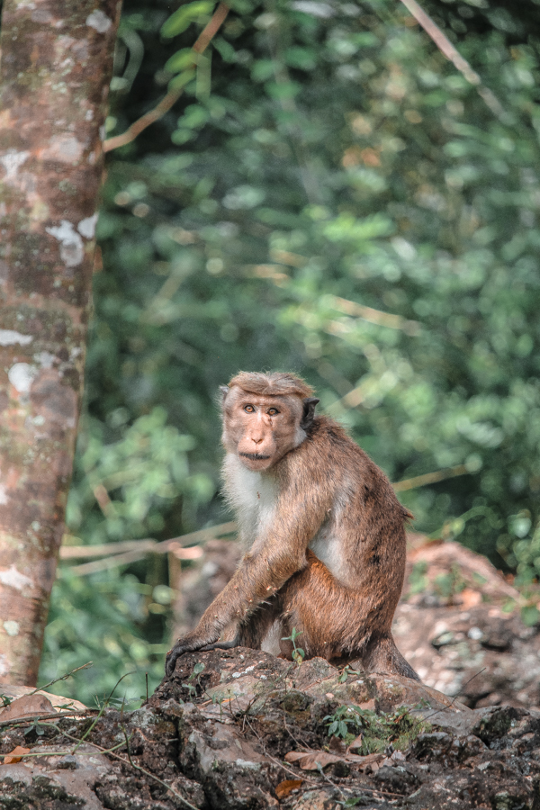When hiking up to Ravana Falls in Ella, Sri Lanka, you'll stumble across to many monkeys in the jungle!