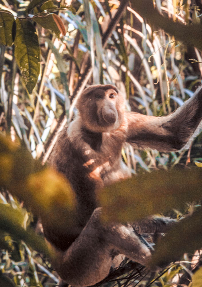 Spotting Probiscis monkeys at Bako National Park was a highlight of my Borneo itinerary and here's how you can do it, too!