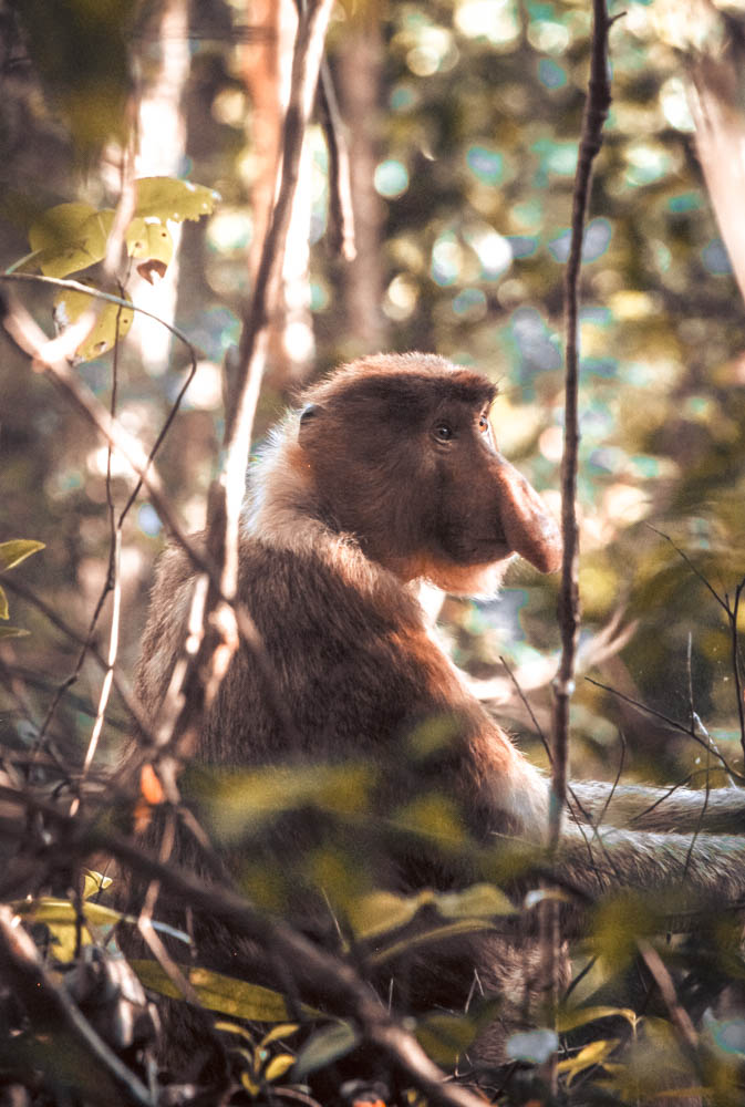 A picture of a Probiscis Monkey (long-nose monkey) spotted in Bako National Park during my visit to Malaysian Borneo