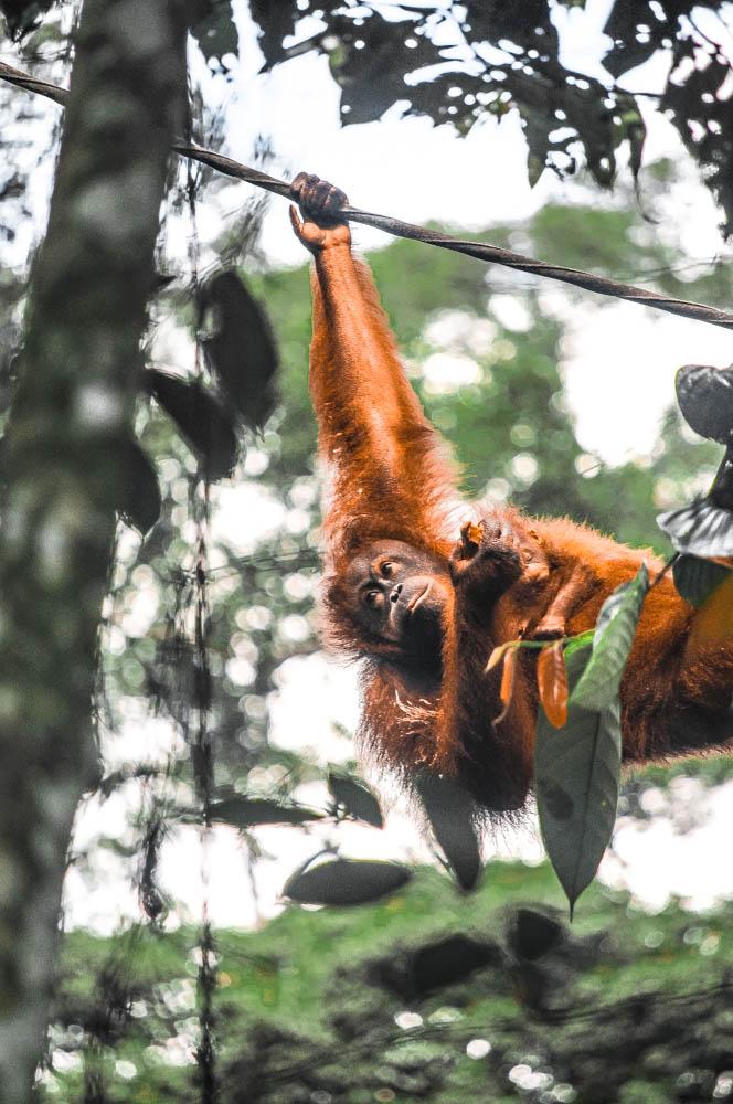 A mama orangutan and her baby spotted at the Orangutan Rehabilitation Center in Sepilok, Sabah, Malaysian Borneo