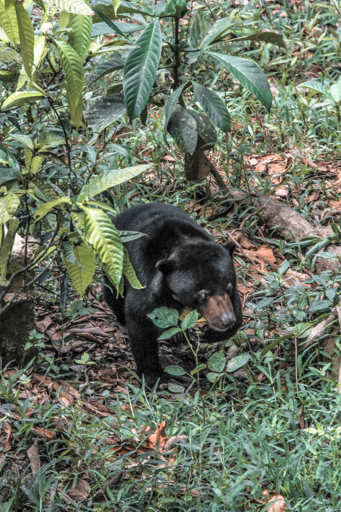 Visiting the Bornean Sunbear Center in Sepilok was a highlight of my Borneo itinerary!
