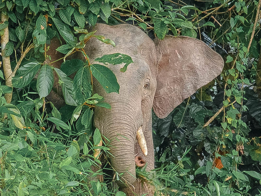 Pygmy elephants are an incredible wildlife encounter in Borneo. Wondering where to find them?