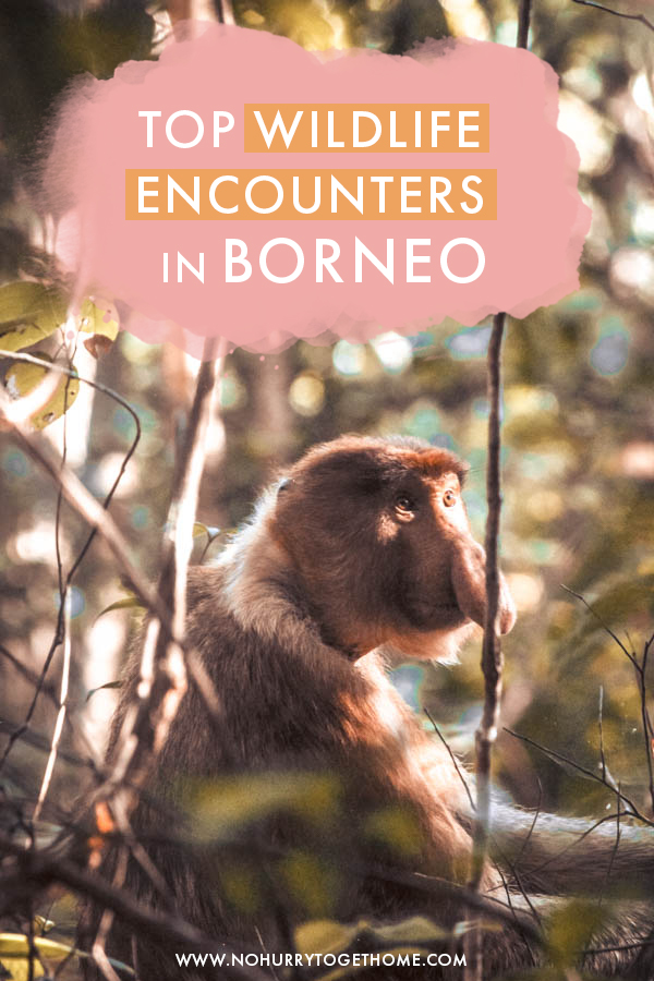 Traveling to Borneo soon and wondering where to find the coolest wildlife encounters on the island? On this travel guide to Malaysian Borneo, I share the best animals to see in Borneo plus tips on the best national parks to find them!