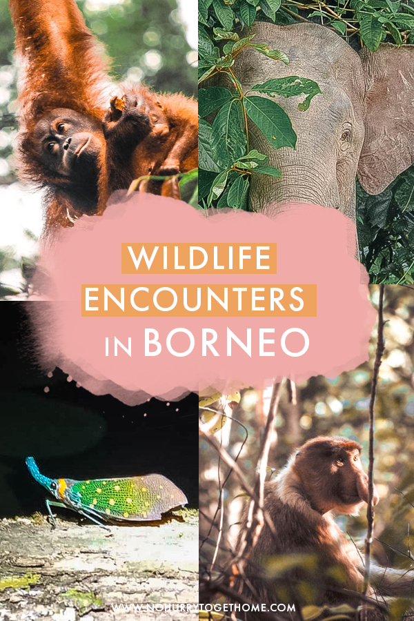 Headed to Borneo soon and wondering where to find the best wildlife in Borneo? There are so many national parks spread over the Malaysian side of the island that deciding where to go is no easy task, so I've rounded up the top wildlife encounters to have in Borneo with tips on where to go!