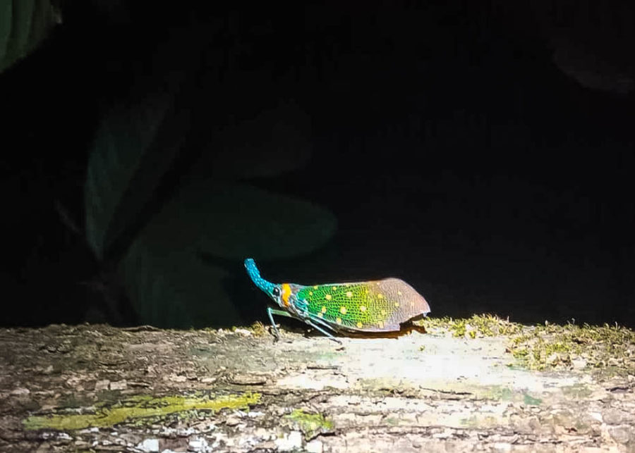 Finding a lanternfly is one of the coolest experiences to have in Borneo!