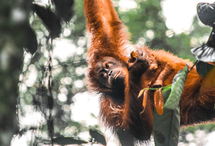 The reason many people visit Borneo is to get the chance to see a wild orangutan, but there are so many other incredible wildlife encounters in Borneo too!
