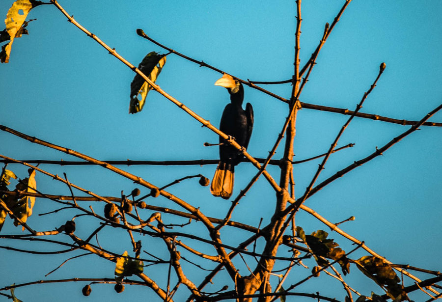 The Rhinocerus Hornbill is one of the coolest birds to see in Borneo's Kinabatangan River!