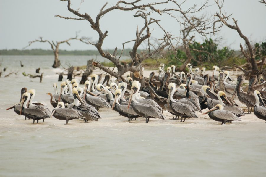 One of the best excursions to take in Holbox is a boat trip to Isla Pajaros to see herons and flamingos!