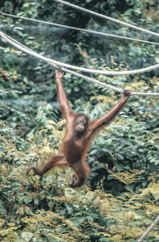 Sepilok Orangutan Center-6259