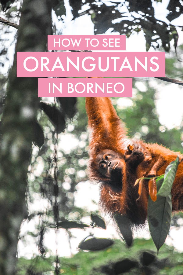 The ultimate guide to seeing Orangutans in Sepilok, Borneo. In this post, I share my experience visiting Sepilok Orangutan Rehabilitation center, as well as answer all your burning questions about seeing orangutans here! #Borneo