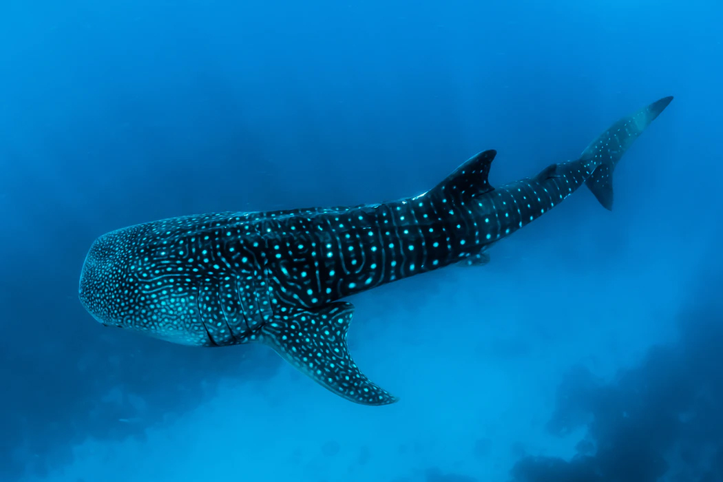 Swimming with whale sharks is one of the most popular things to do in Holbox, but is it ethical?