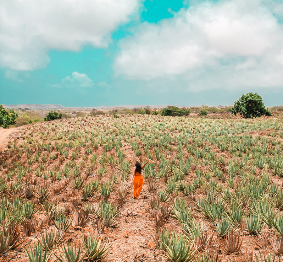 The aloe vera plantations in Curacao, a must visit when here!