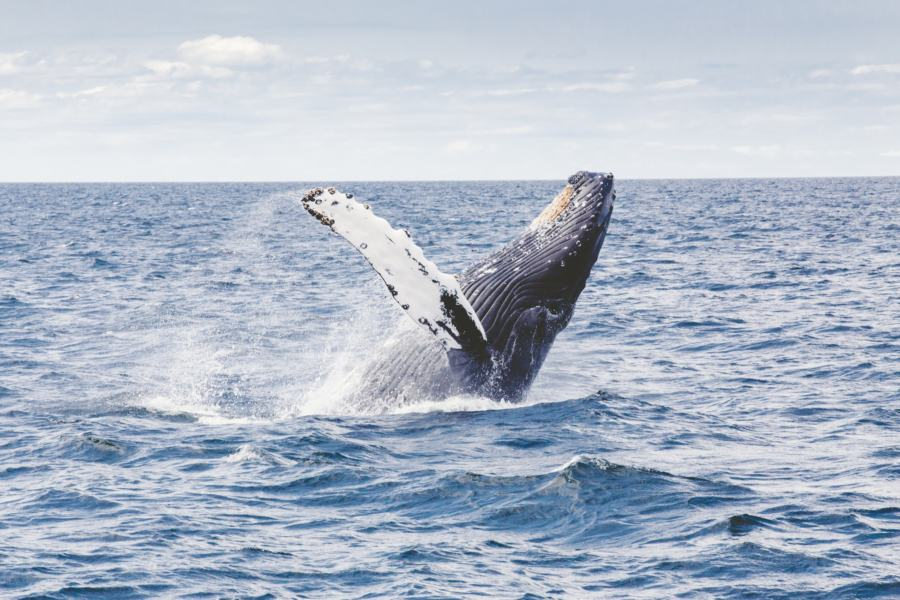 Whale watching is one of the best things to do in Knsyna, South Africa
